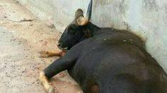 เศร้า! กระทิงป่าพลัดตกลงสปริงเวย์ตาย ในเขื่อนห้วยโสมง