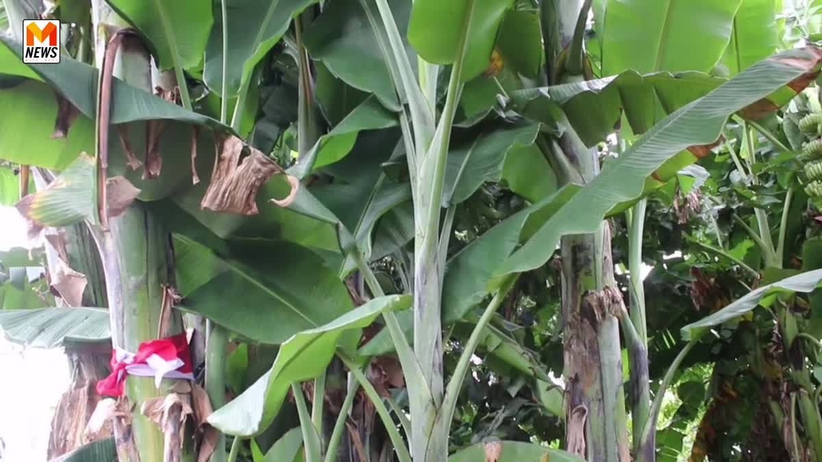 พิธีอัญเชิญต้นกล้วยเพื่อใช้แทงหยวก ประดับพระจิตกาธาน