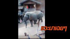 แค่แวะมาเดินเล่น! คลิประทึกนาทีช้างป่าเดินเที่ยวในหมู่บ้าน ที่เชียงใหม่