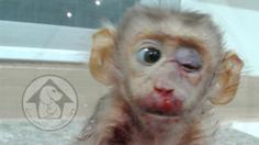 สลดหดหู่! แม่ลิงถูกยิงเอาไปกิน ลูกน้อยเจ็บหนัก บอบช้ำบวมทั้งตัว