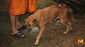 หมาวัดสุดซวยโดนฝูงลิงป่ารุมกัดเป็นแผนฉกรรจ์ จนหนอนไชเต็มหลัง