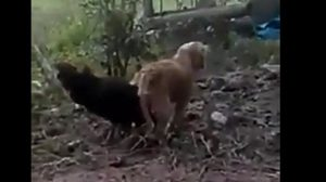 เป็นไปได้!! คลิปสุนัขผสมพันธุ์กับไก่ชน  ที่สุราษฎร์ธานี