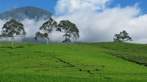 ไปเที่ยวไร่ชา ที่ ภูเขาไฟเดมโป บนเกาะสุมาตรา