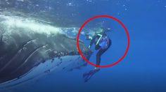 นักวิทย์ฯ เปิดใจ!! วาฬยักษ์ช่วยชีวิต หลังถูก ฉลามเสือ จู่โจม
