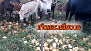 ชาวสวนวอนหน่วยงานช่วยเหลือ หลังสัปะรดขายไม่ออก ต้องเอาไปให้วัวกินแทน