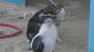 พบเพื่อนรักต่างสายพันธุ์ เจ้าเฮงเฮง หมูจิ๋ว ชอบเล่นอยู่กับสุนัข