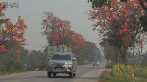 คนแห่ถ่ายภาพ ถนนดอกไม้ที่พะเยา หลังดอกทองกวาว บานสะพรั่งเต็มถนน