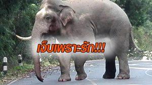 เคยเห็นไหม? ช้างเขาใหญ่ หลังเปิดศึกชนกันจนงาหัก !!