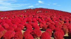 ชมต้นโคเกีย ใกล้ชิดธรรมชาติ ณ สวนฮิตาชิซีไซด์
