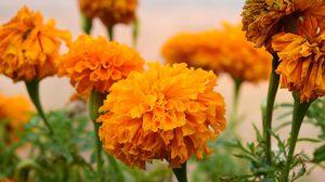 ดอกดาวเรือง ดอกไม้ประจำพระองค์ ในหลวงรัชกาลที่ 9