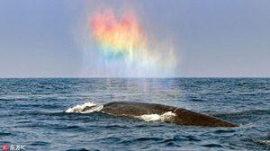 อัศจรรย์ธรรมชาติ ภาพหัวใจสีรุ้ง จากการพ่นน้ำจากหลังของวาฬสีน้ำเงิน
