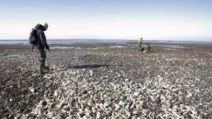 คนจีนอาสาช่วยเดนมาร์ก จัดการหอยนางรม หลังขยายพันธุ์เต็มหาด