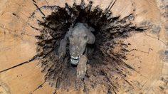 พบ ซากมัมมี่หมา ติดอยู่ในท่อนซุงมากกว่า 38 ปี สภาพสมบูรณ์มาก ๆ