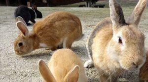 เกาะกระต่าย โอกุโนชิมา