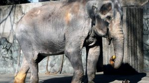 แชร์ว่อน คำเตือนอย่าดิ้นตามฝรั่ง ปมแคมเปญพาช้างฮานาโกะกลับไทย