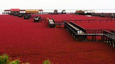 Red Beach หาดสีแดง มหัศจรรย์แห่ง เมืองผานจิ่น