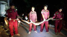 งูเหลือมหิวโซ! มุดเล้าไก่เขมือบไป 1 ตัว จนไปอิ่มแปล้หนีไม่ไหว