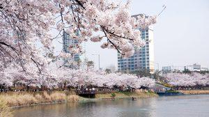 """ฤดูสีชมพู! พาชมเทศกาลดอก """"พ็อดกต"""" ในโซล"""