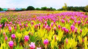 เที่ยวงานทุ่งดอกกระเจียว สื่อรักวันแม่ ที่สุพรรณบุรี