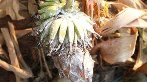แห่ขอเลขเด็ด กล้วยยืนต้นตายเกือบปี แต่มีผลแทงออกกลางลำต้น