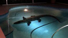 แค่มาว่ายน้ำเล่น!! เจ้า จระเข้ ยาวกว่าสามเมตรเข้ามาเยี่ยมเยียนมนุษย์ที่สระน้ำหลังบ้าน