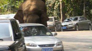 """ไม่ได้มีแค่ไทย!! คลิประทึก """"ช้างป่า"""" หลุดทุบรถนักท่องเที่ยวที่จีน"""