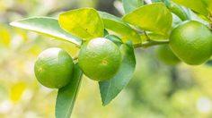 เกษตรกรชาวสวนยางยิ้มร่าหันมาปลูกผลไม้ได้ผลผลิตดีกำลังออกสู่ตลาด
