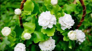 ความหมายดอกมะลิ สื่อรักวันแม่
