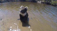 น่ารักมาก คลิปหมีโคอาลาโชว์อึด ว่ายน้ำข้ามฝั่งแชร์สนั่นออนไลน์