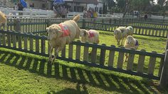 แหล่งท่องเที่ยว Swiss sheep farm เขาชีจรรย์ จ.ชลบุรี