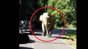 หวาดเสียว! นาทีช้างเขาใหญ่โผล่ประชันหน้าผู้ใช้รถบนถนน