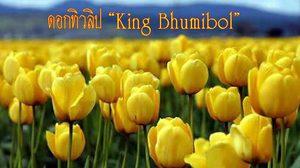 """ดอกทิวลิป ที่ได้รับพระราชทานพระบรมราชานุญาตให้ใช้ชื่อว่า """"King Bhumibol"""""""